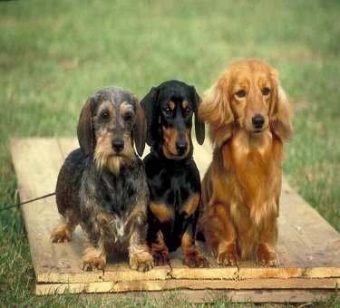 Miniature Dachshund Puppies on Miniature Dachshund Puppies Jpg